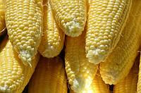 Семена кукурузы-Р9074 Новый Форс Зеа