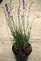 Лаванда узколистная (Lavandula angustifolia Mill) / С1.5