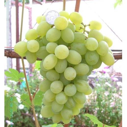Виноград Мускат Благородный