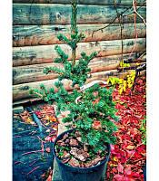 Picea pungens 'Lucky Strike' Ялина блакитна 'Лакі Страйк',C10,30-25см