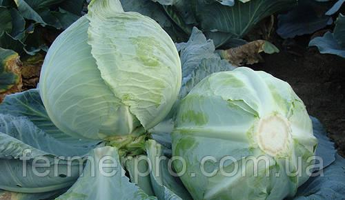 Семена капусты Куизор F1 \ Quisor Syngenta 2500 cемян