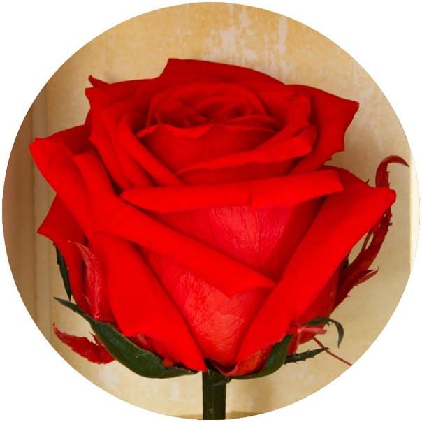 Долгосвежая роза Алый Рубин 7 карат на среднем стебле