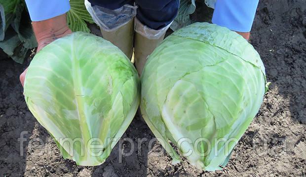 Семена капусты Зенон F1 \  Zenon F1 2500 семян Syngenta