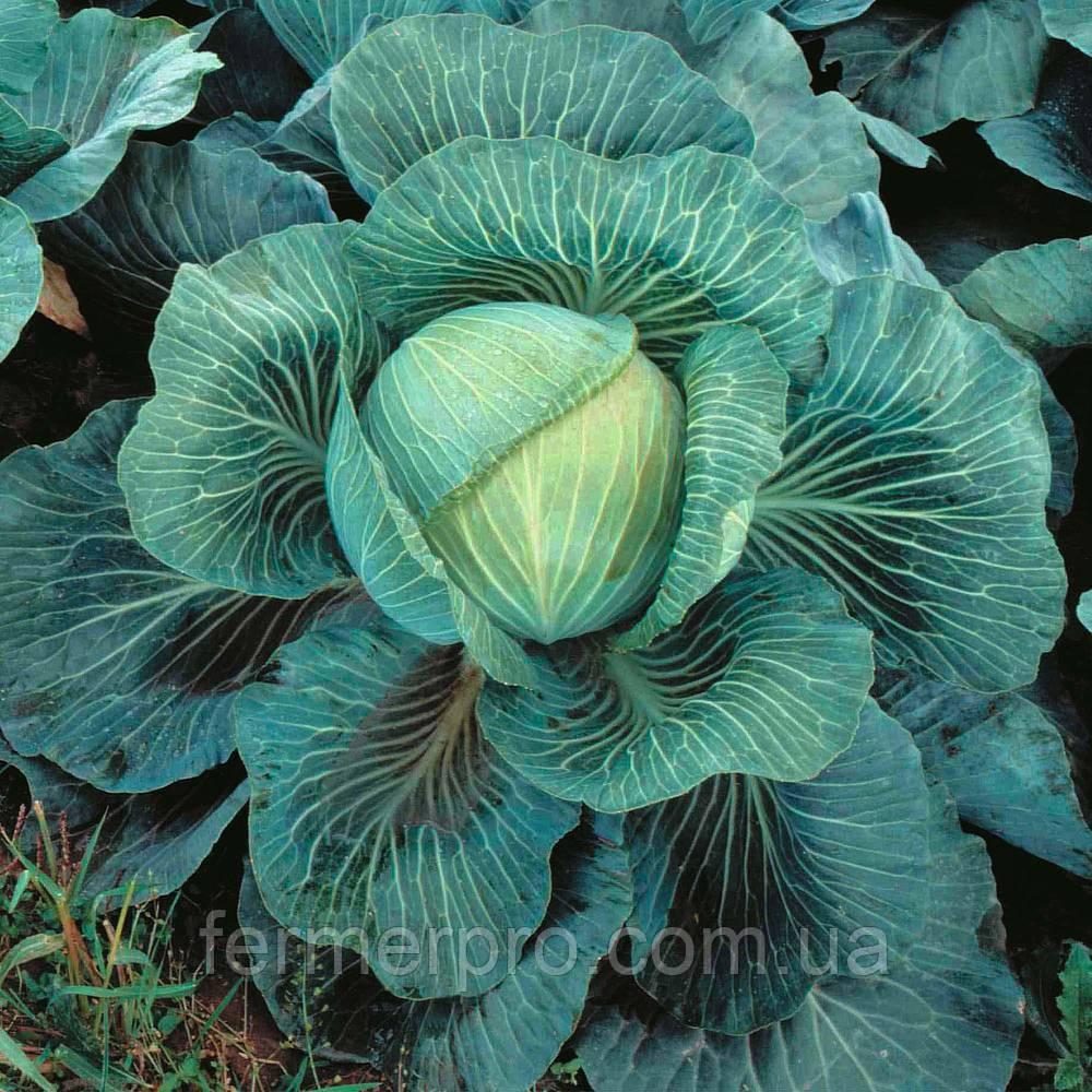 Семена капусты Килатон F1 \ Kilaton F1 2500 семян Syngenta