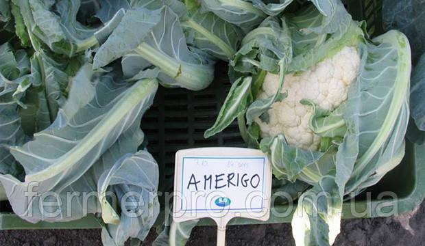 Семена цветной капусты Америго F1 \ Amerigo F1 2500 семян Syngenta