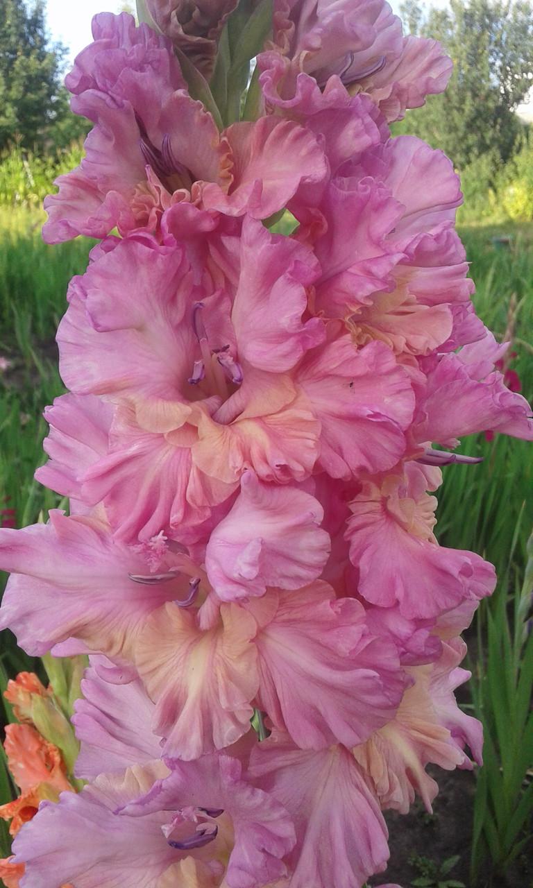 Гладиолус Горный ручей 3 разбор ( от 1.5 см до 2.5 см )