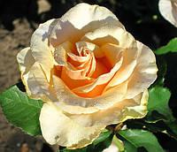 Роза Примадонна. Чайно-гибридная роза