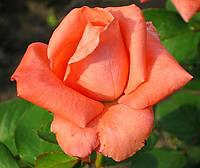 Роза Дольче Вита. Чайно-гибридная роза. з/п, фото 1