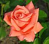 Роза Дольче Вита. (в). Чайно-гибридная роза.