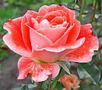 Просто про троянди.