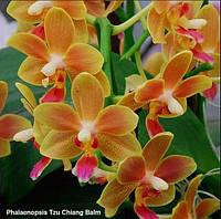Подростки орхидеи. Сорт Phal. Tzu Chiang Balm
