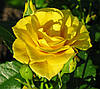 Садовые розы. Советы по выращиванию.