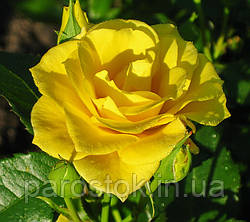 Садові троянди. Поради по вирощуванню.