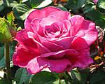 Каталог Саджанців троянд. Опис сортів.