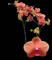 Подростки орхидеи. Сорт Phal. Surf Song