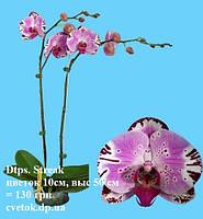 Подростки орхидеи. Сорт Dtps Streak