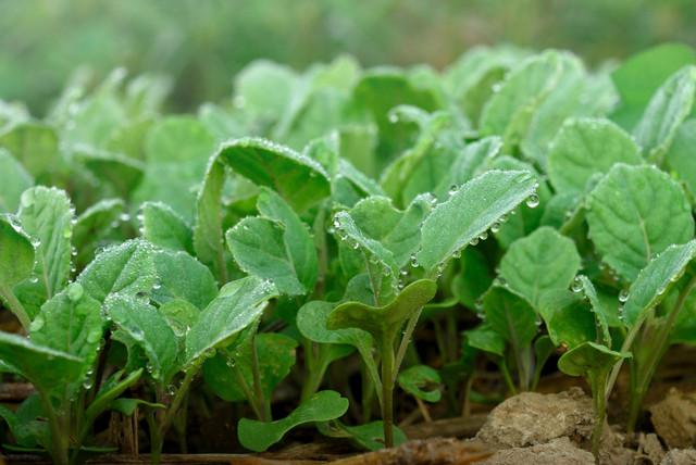 цветная капуста выращивание и уход