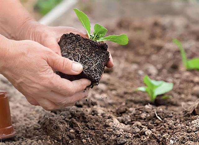 цветная капуста выращивание_уход_подкормка_болезни