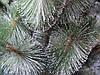 Елка искусственная 0,9 метра сосна с белым кончиком иголки, фото 2