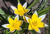 Тюльпан Specie (луковица)