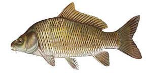 Комбикорм для рыбы карпа К-111 (двух-трёхлеток) сырой протеин 23,42%, фото 2
