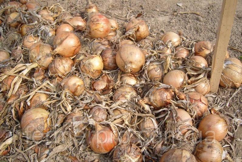 Семена лука Банко \ Banko 250000 семян Syngenta