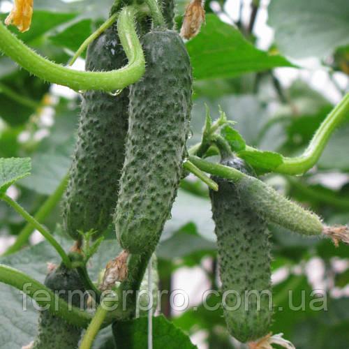 Семена огурца Пасалимо F1 \ Pasalimo F1  Syngenta 500 семян