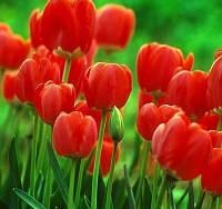 Тюльпан Darwin Hybrid