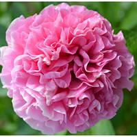 "Пион  ""Carnation Bouquet"" (Seidl Bill, 1996, США)"