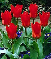 Тюльпан Fosteriana