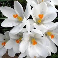 Крокус  Large-Flowering
