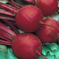 Семена свеклы Болтарди 100000 семян (Syngenta) — среднепоздняя сортовая (100-110 дней), круглая, столовая.