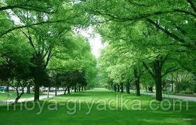Газонна трава Тіньовитривала