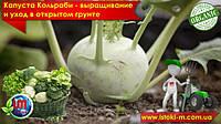 Капуста Кольраби – выращивание и уход в открытом грунте