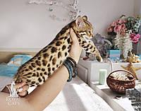 Мальчик Appolo. Бенгал Ф1, котёнок питомника Royal Cats., фото 1