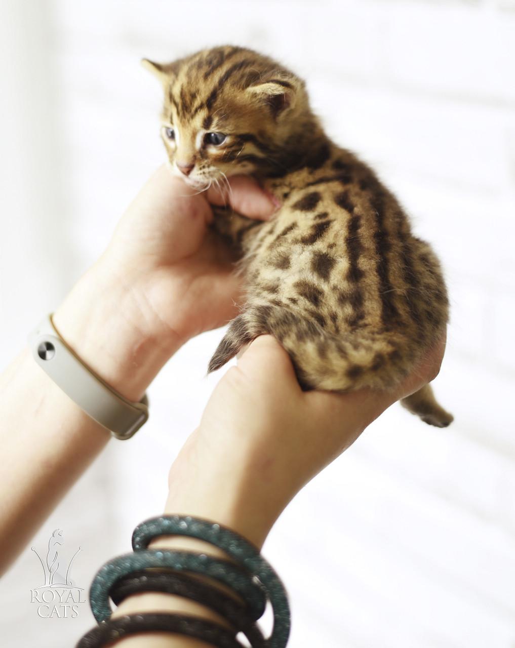 Девочка Selena. Бенгал Ф1, кошечка питомника Royal Cats.