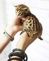 Девочка Selena. Бенгал Ф1, кошечка питомника Royal Cats., фото 1