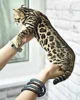 Девочка Mila. Бенгал Ф1, кошечка питомника Royal Cats.