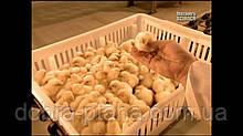 Цыплята бройлеры Кобб-500 опт от 1000 голов
