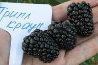 Саженцы ежевики ТРИПЛ КРАУН (двухлетний) средний срок созревания