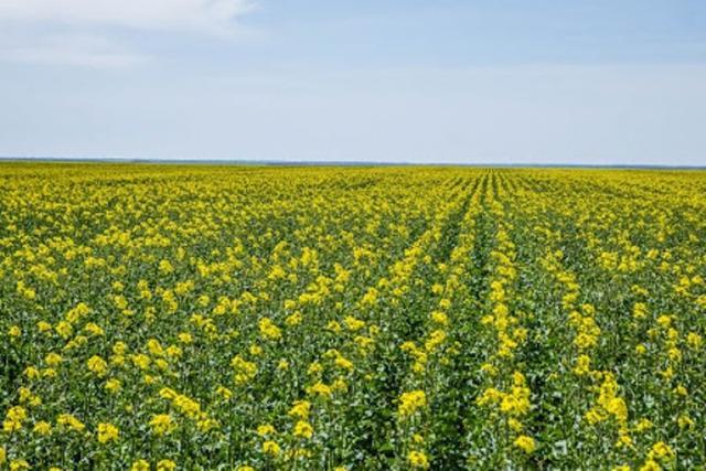 """Микроудобрения """"РЕАКОМ"""" в технологии выращивания озимого рапса"""