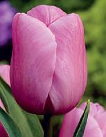 Луковичные растения Holland Beauty (триумф), фото 1