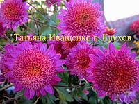 Хризантема корейская Донецкий Этюд, фото 1
