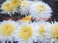 Хризантема черенок , фото 1