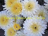 Хризантема живець, фото 3