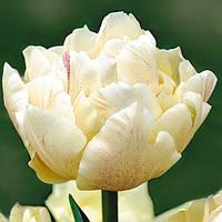 Луковичные растения Тюльпан Montreux  (махров)