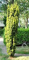 """Тис ягодный """"Fastigiata aurea"""" /H 1.5 м / С45"""