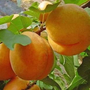 Саженцы Абрикоса Ананасный Цюрупинский - средний, крупноплодный, урожайный