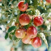 Плодовые деревья, фото 1