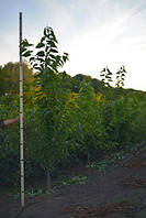 Персик Щедрый, 2,0-2,5 метра